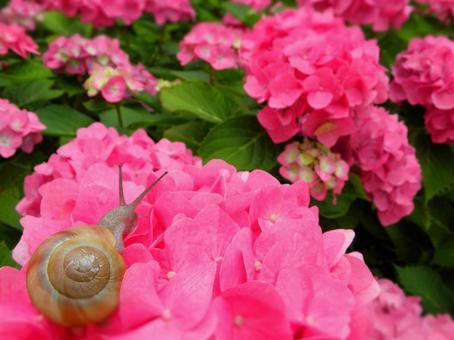 繡球花和蝸牛2