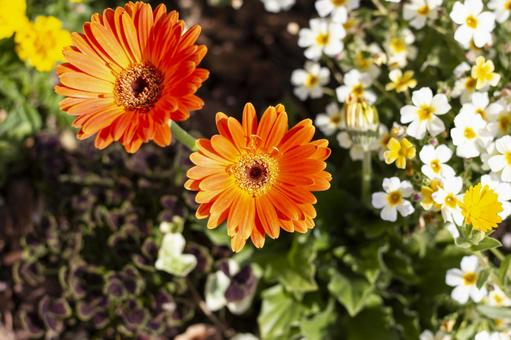 Orange gerbera and white wood sorrels