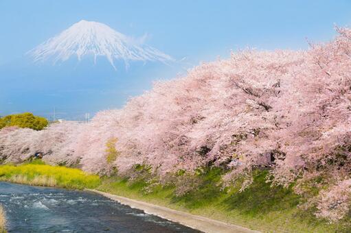 Fuji Sakura Watari River