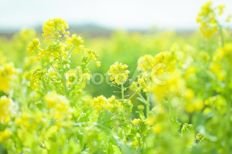 菜の花4の写真