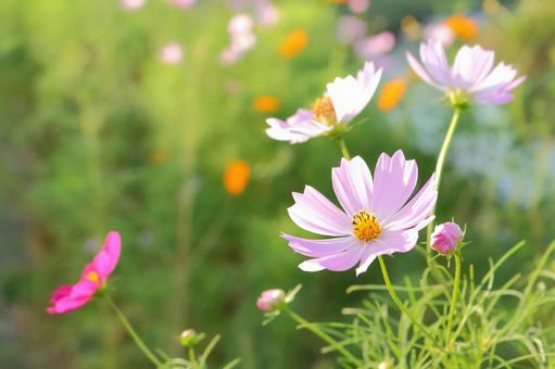 Cosmos blooming in the sunny pool 1