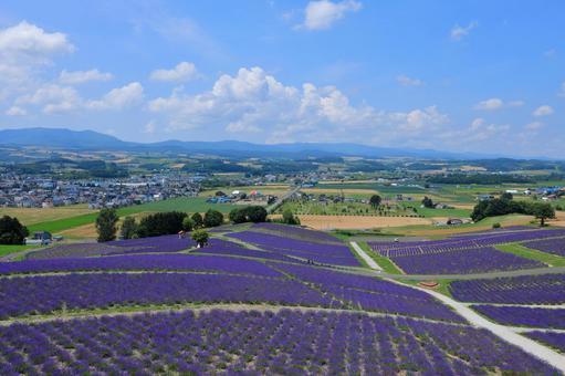 Long lavender in full bloom from Hinode Park Observatory
