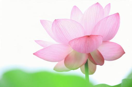 Lotus lotus image material