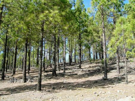 [외국] 침엽수 산 산림 카나리아 제도 하이킹 하늘 자연 식물 풍경 경치