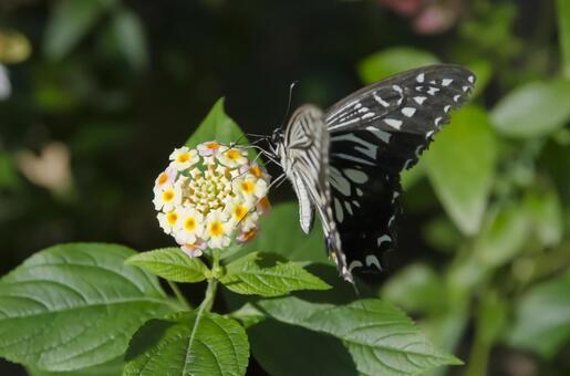 호랑 나비 1