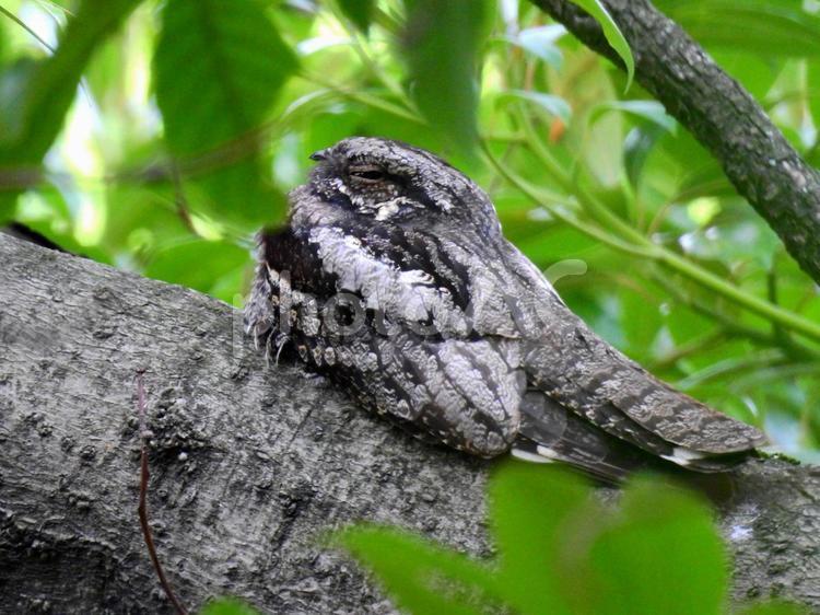 樹上で昼寝するヨタカ 野鳥の写真