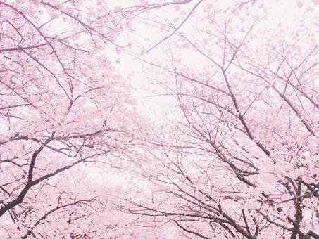 Sakura tunnel background material