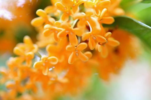 Kanagi sword beetle golden flower