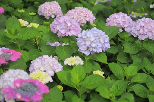 Hydrangea pink and light purple 1