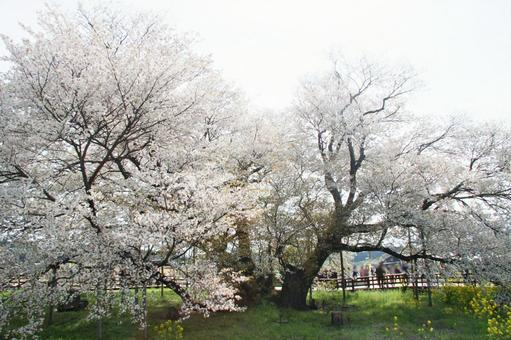 Isshingyo Sakura