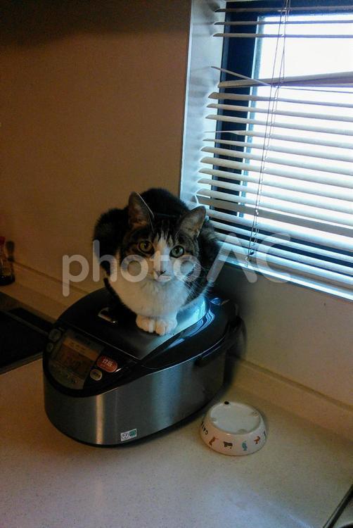 炊飯器がお気に入りの猫の写真