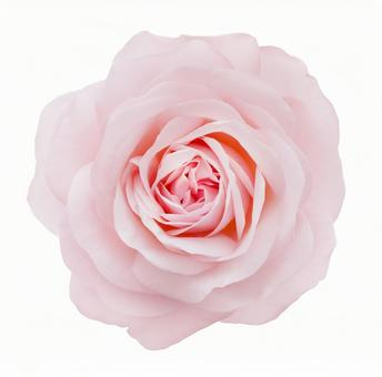 Pink rose * See below for cutout path
