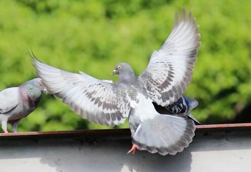 An angry pigeon with triangular eyes