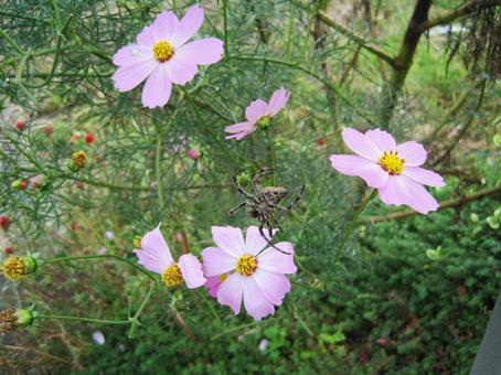 Pink cosmos and spider