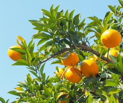 Summer oranges in the garden