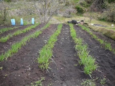 밭 밭 부추