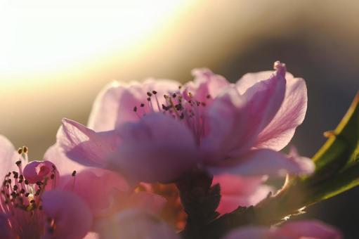 ハナモモと夕日