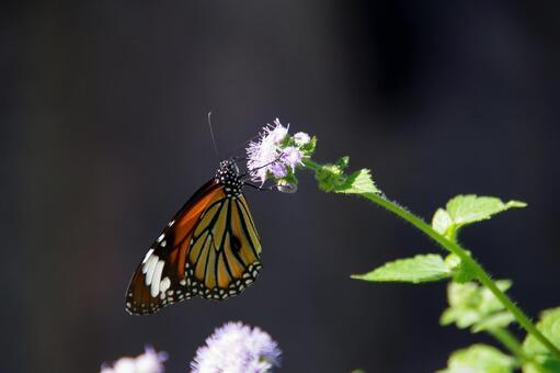 별 선두리 왕 나비 06