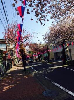 櫻花樹(中午)