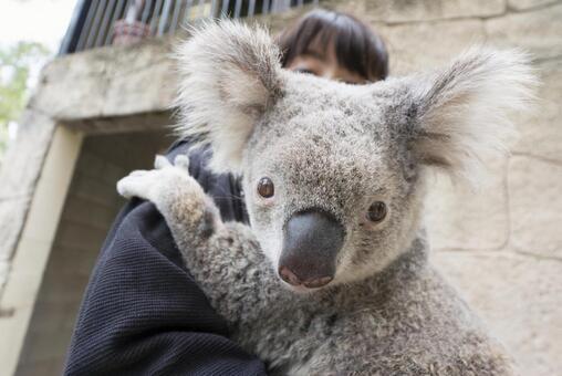 Koala hugging experience in Australia