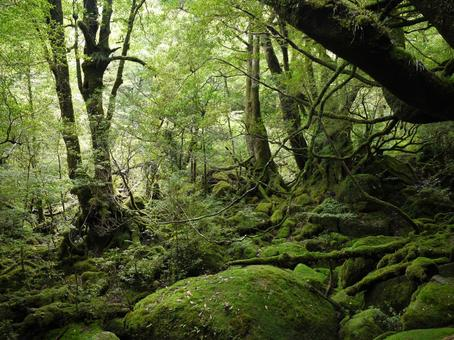 屋久島的原始森林13