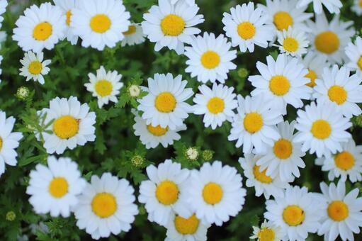 북극 흰 꽃 1