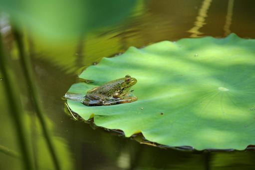 Lotus pond frog