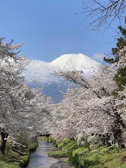 Fuji to Sakura