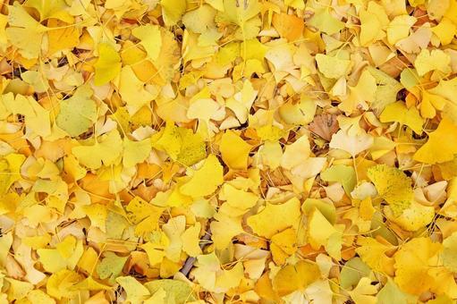 Ginkgo Ginkgo Yellow leaves on one side