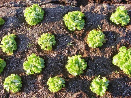 [밭] 서리 상추 상추 잎 상추 텃밭 겨울 야채 자연