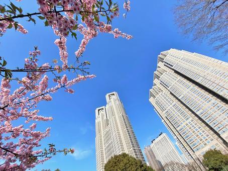 도쿄 도청 벚꽃 5