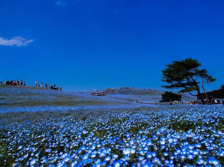 히타치 해변 공원 네모 피라과 푸른 하늘