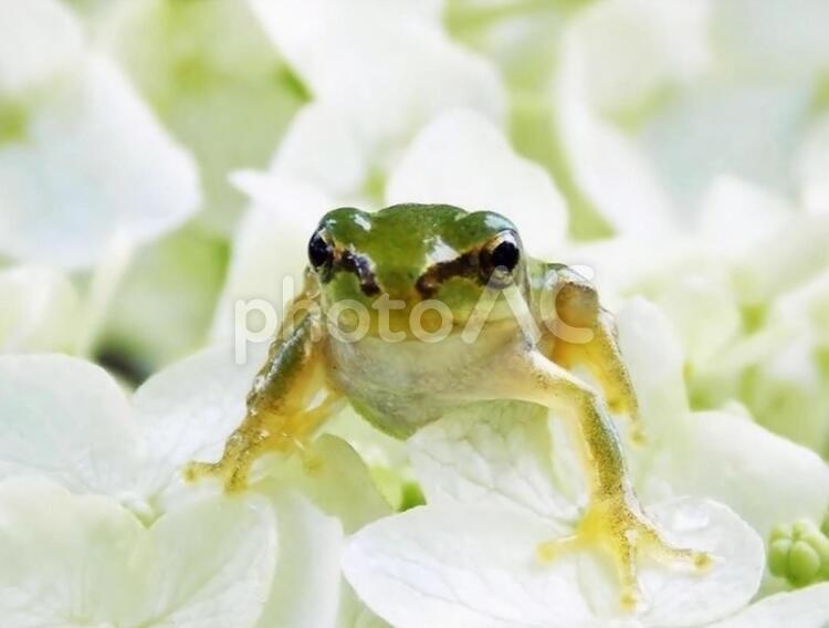 雨蛙の写真