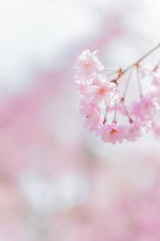 Kyoto · Cherry blossom viewing