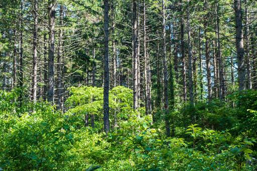 Norway spruce forest (Sasagamine Plateau, Myoko City)