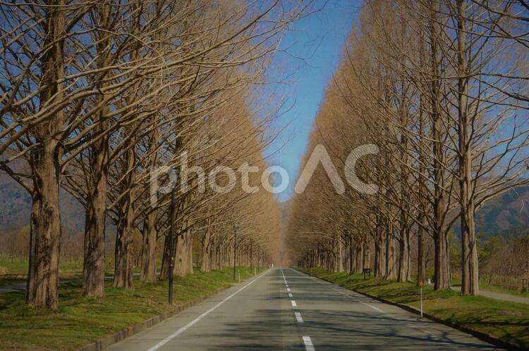 メタセコイア並木道の写真