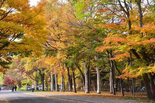Hokkaido University Ginkgo bunches