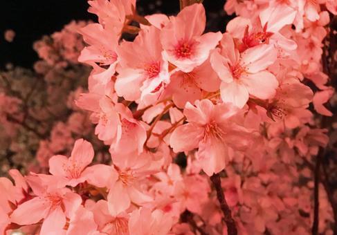 夜桜[2]