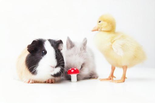 兔子和鸭子和豚鼠11