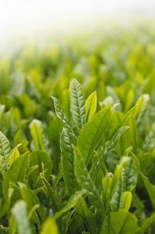 Morning tea field
