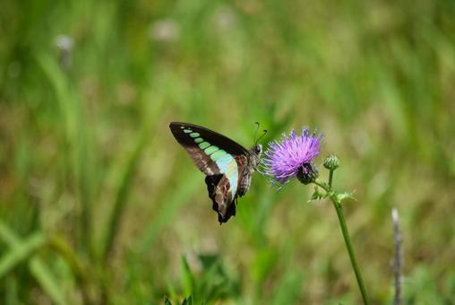 청띠 제비 나비