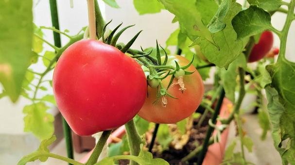Tomato kitchen garden 005