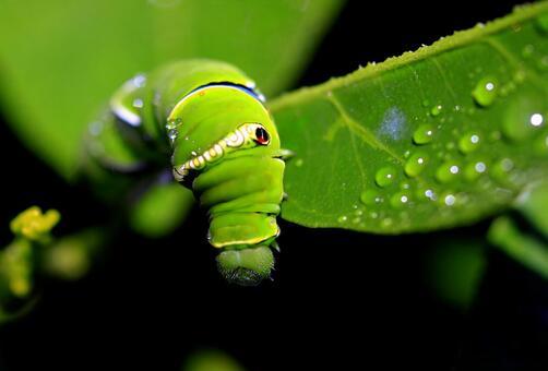 호랑 나비의 애벌레 03