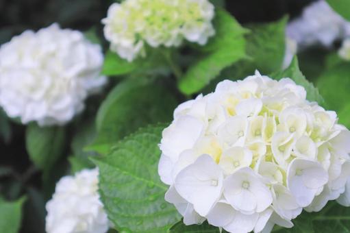 在雨季綻放的美麗治癒的白色繡球花