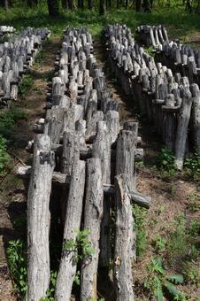 버섯 원목 재배