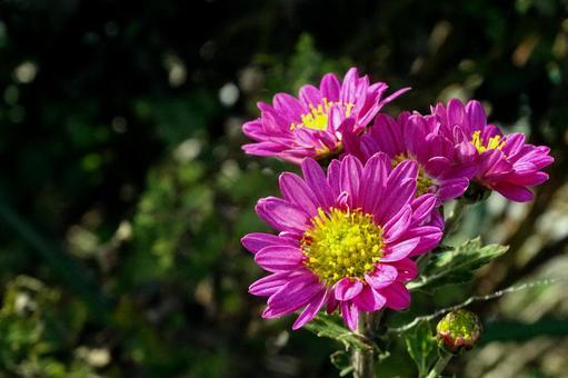 Chrysanthemum flowers blooming in autumn sky