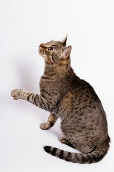 Tiger pattern cat 4