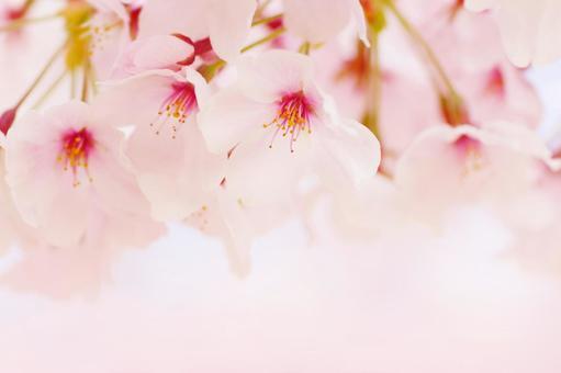 Cherry blossoms (upper part)