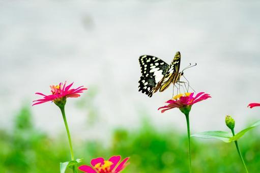 나비와 백일초