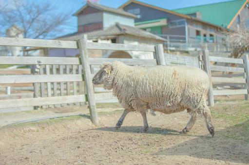 Sheep 63
